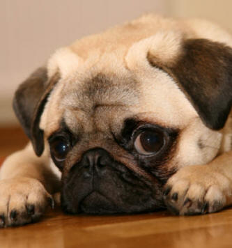 Pug Top Small Breed Dog